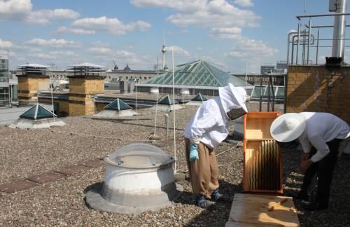 Imker schauen auf dem Dach des Abgeordnetenhauses in einen Bienenstock.
