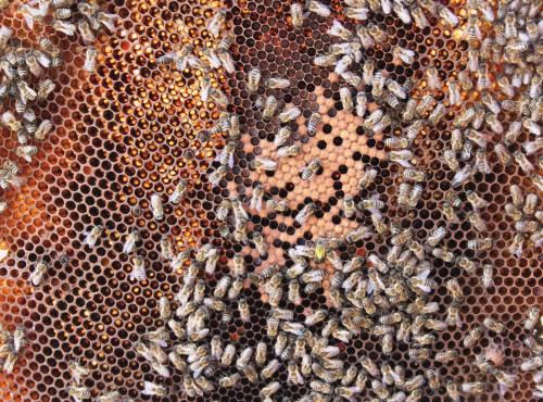 Bienenwabe mit mehreren Bienen und Honig.