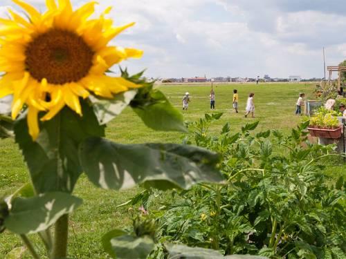 Eine Sonnenblume auf dem Tempelhofer Feld